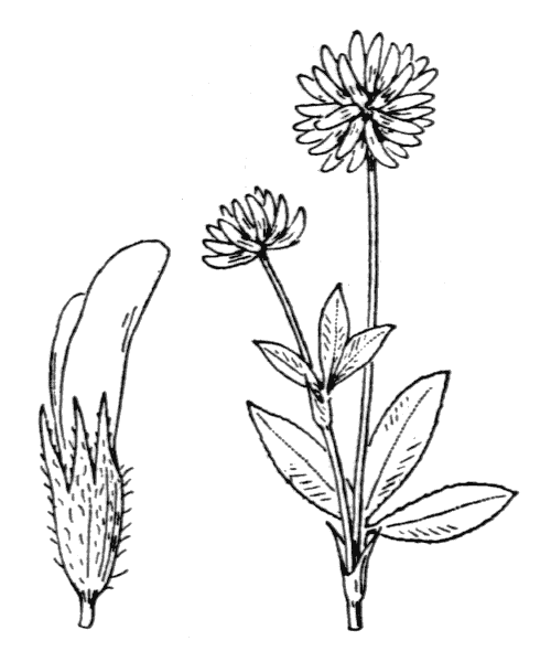 Trifolium montanum L. [1753] - illustration de coste