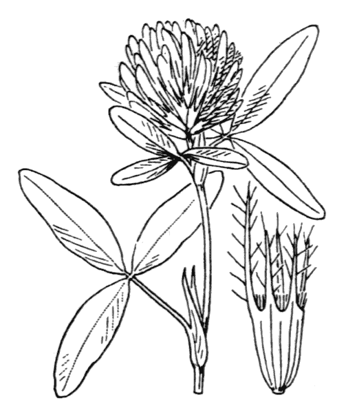 Trifolium medium L. - illustration de coste