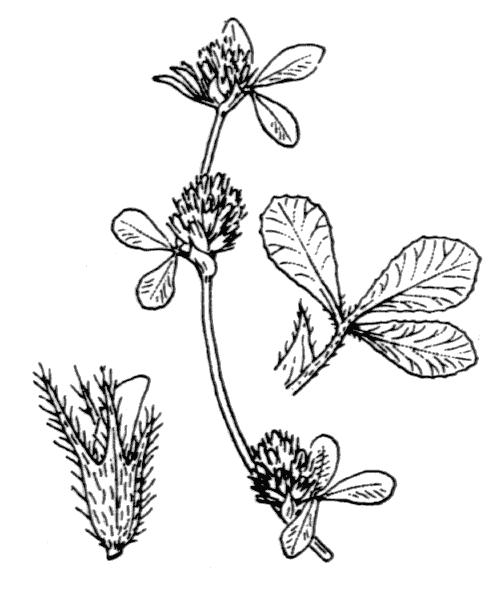 Trifolium scabrum L. - illustration de coste