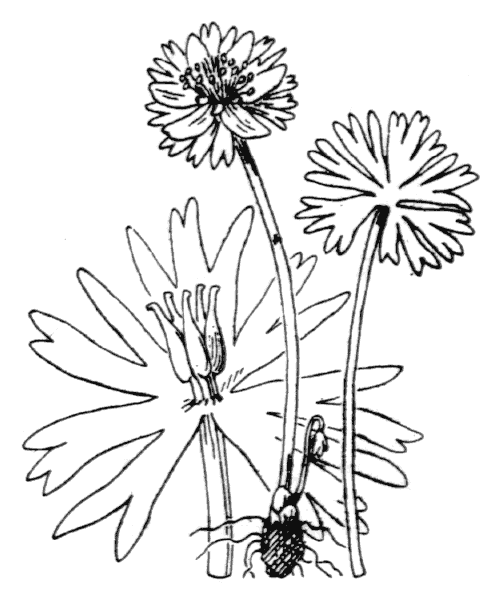 Eranthis hyemalis (L.) Salisb. [1807] - illustration de coste