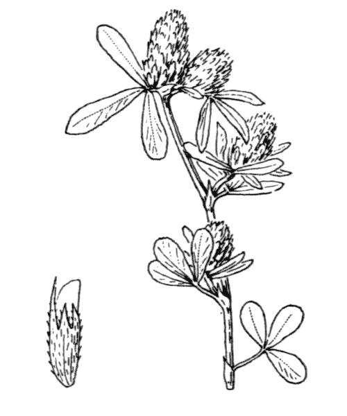 Trifolium bocconei Savi - illustration de coste