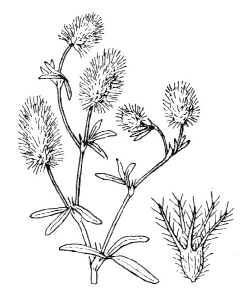 Trifolium arvense L. - illustration de coste