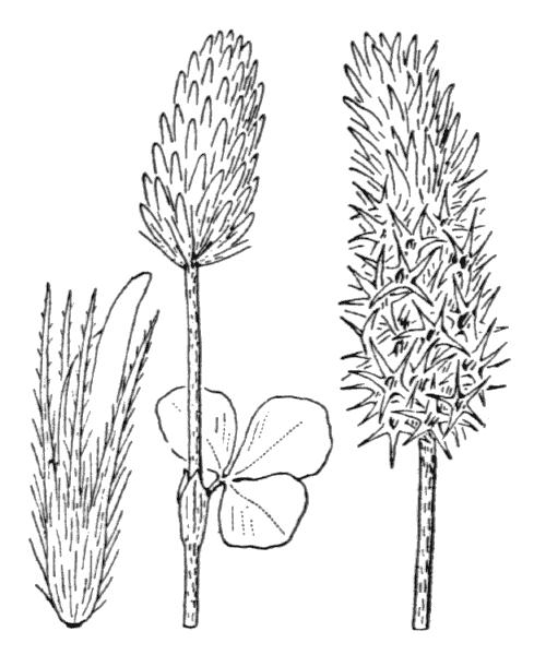 Trifolium incarnatum L. - illustration de coste