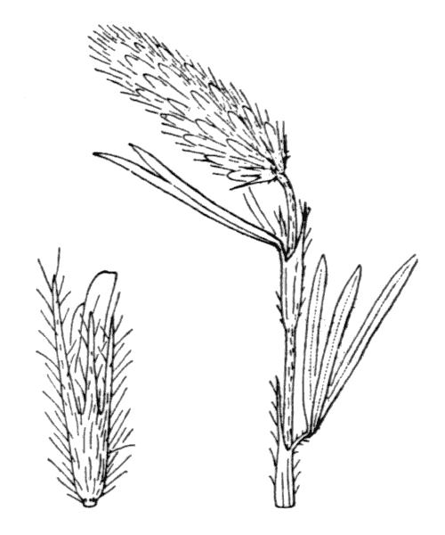 Trifolium angustifolium L. [1753] - illustration de coste