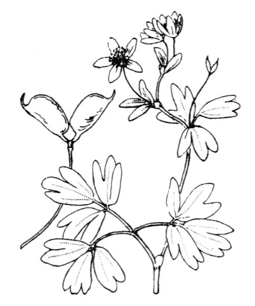 Isopyrum thalictroides L. [1753] - illustration de coste