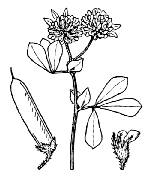 Lotus rectus L. - illustration de coste