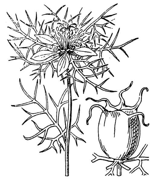 Nigella damascena L. - illustration de coste