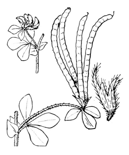 Lotus ornithopodioides L. - illustration de coste