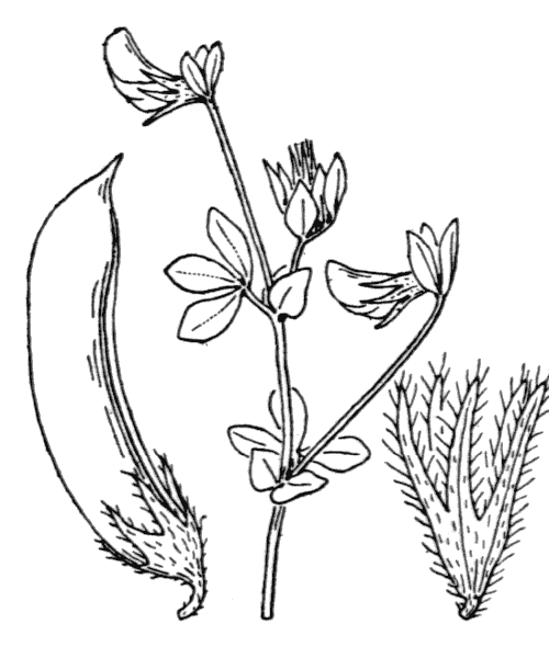 Lotus edulis L. - illustration de coste