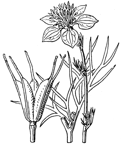 Nigella arvensis L. - illustration de coste