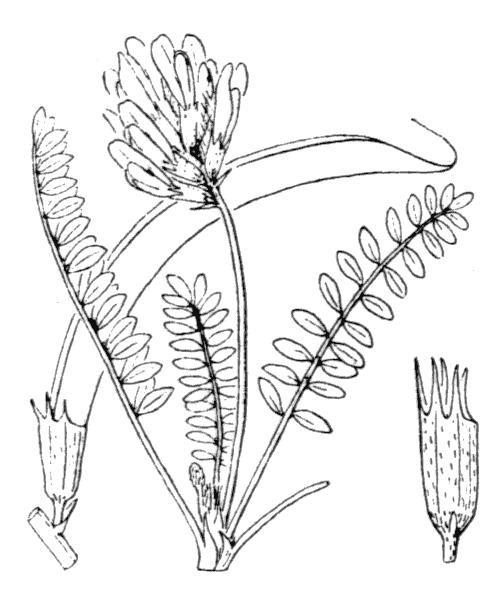 Astragalus monspessulanus L. - illustration de coste