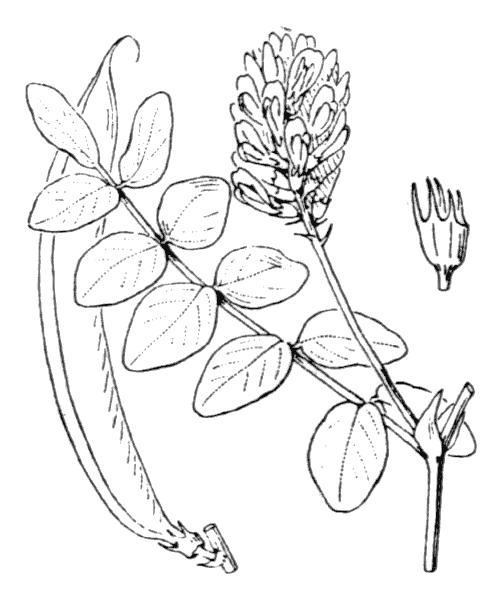 Astragalus glycyphyllos L. - illustration de coste