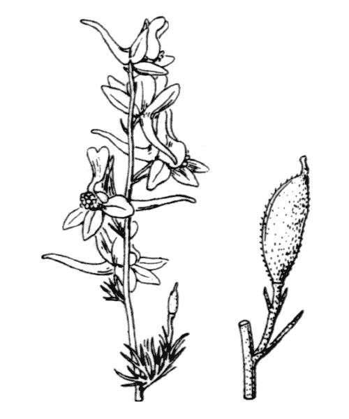 Delphinium ajacis L. [1753] - illustration de coste