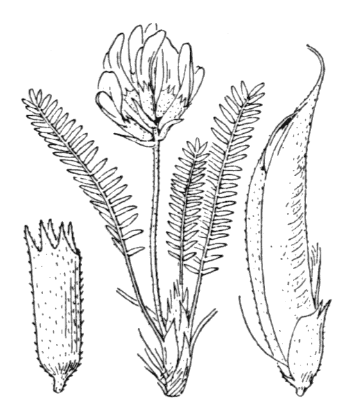 Oxytropis fetida (Vill.) DC. - illustration de coste
