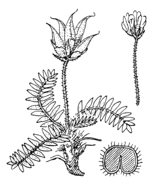 Oxytropis foucaudii Gillot - illustration de coste