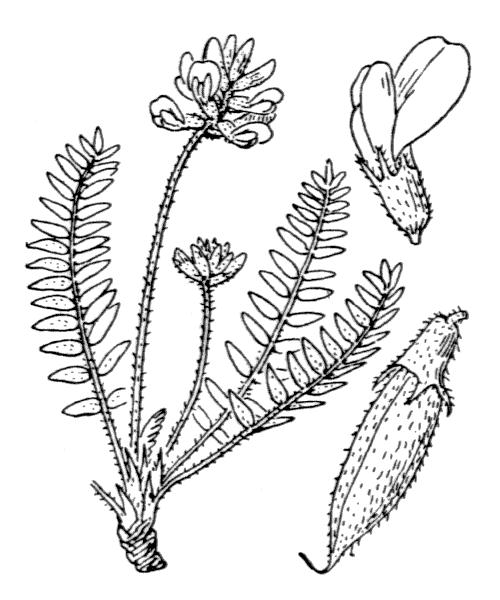 Oxytropis helvetica Scheele - illustration de coste