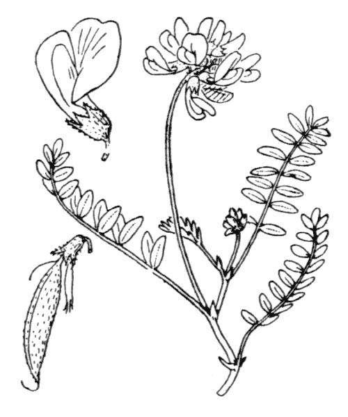 Astragalus alpinus L. subsp. alpinus - illustration de coste