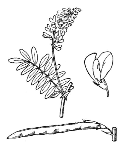Galega officinalis L. - illustration de coste