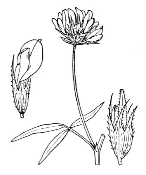 Bituminaria bituminosa (L.) C.H.Stirt. - illustration de coste