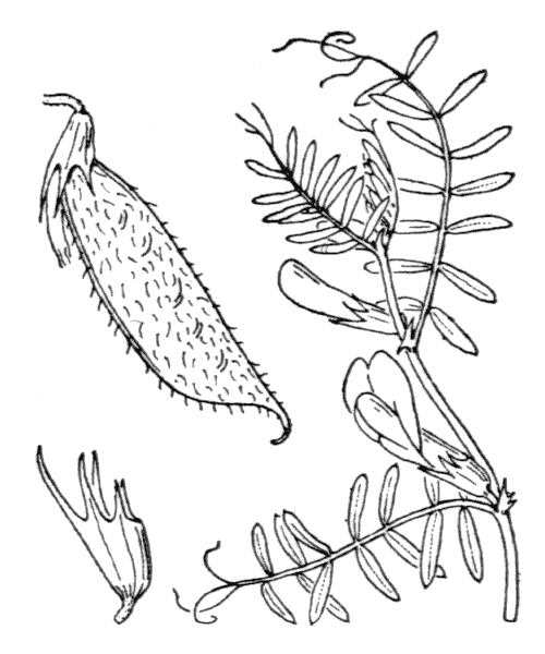 Vicia lutea L. - illustration de coste
