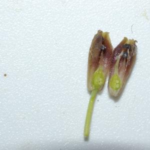 Photographie n°2605 du taxon Muscari comosum (L.) Mill. [1768]
