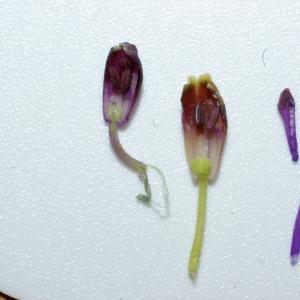 Photographie n°2606 du taxon Muscari comosum (L.) Mill.