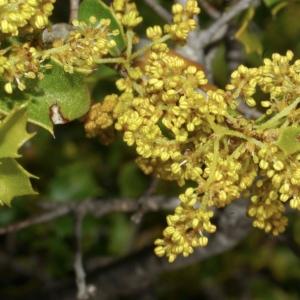 Photographie n°2611 du taxon Quercus ilex L. [1753]