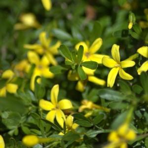 Photographie n°5493 du taxon Jasminum fruticans L.