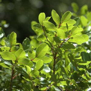 Photographie n°5494 du taxon Pistacia terebinthus L.