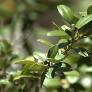 Photographie n°5495 du taxon Buxus sempervirens L.