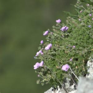 Photographie n°5523 du taxon Erodium petraeum (Gouan) Willd. [1800]