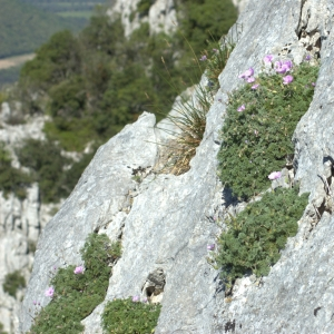 Photographie n°5532 du taxon Erodium petraeum (Gouan) Willd. [1800]