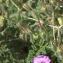 Jean-Pascal Milcent - Erodium petraeum (Gouan) Willd. [1800]