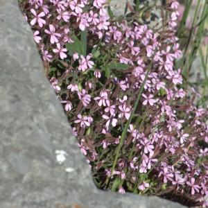 Photographie n°5543 du taxon Saponaria ocymoides L.