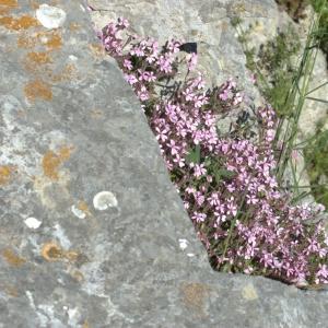 Photographie n°5544 du taxon Saponaria ocymoides L.