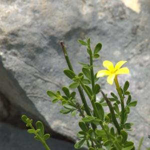 Photographie n°5559 du taxon Jasminum fruticans L.