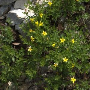 Photographie n°5560 du taxon Jasminum fruticans L. [1753]