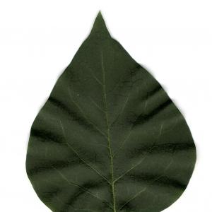 Photographie n°5569 du taxon Syringa vulgaris L. [1753]