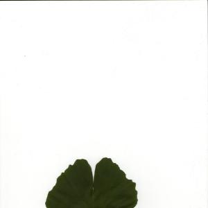 Photographie n°5573 du taxon Ginkgo biloba L. [1771]