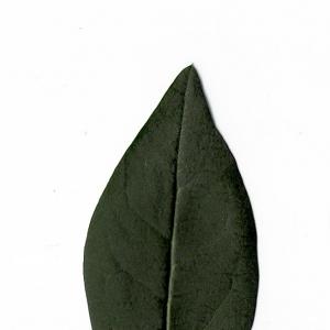 Photographie n°5574 du taxon Ligustrum vulgare L. [1753]