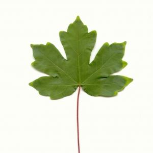 Photographie n°5575 du taxon Acer campestre L. [1753]