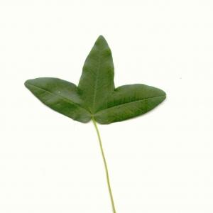Photographie n°5577 du taxon Acer monspessulanum L.