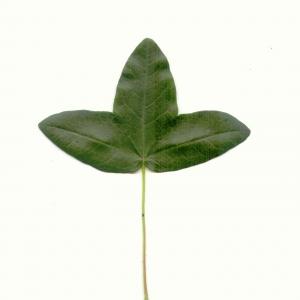 Photographie n°5578 du taxon Acer monspessulanum L.