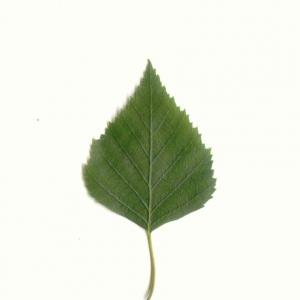 Photographie n°5582 du taxon Betula pendula Roth [1788]