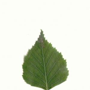 Photographie n°5583 du taxon Betula pendula Roth [1788]
