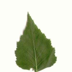 Photographie n°5584 du taxon Betula pendula Roth [1788]