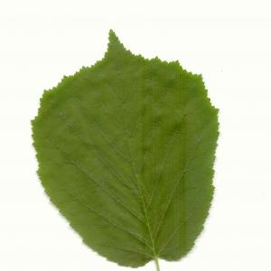 Photographie n°5591 du taxon Corylus avellana L. [1753]