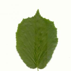 Photographie n°5592 du taxon Corylus avellana L. [1753]