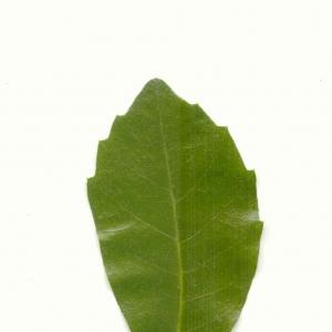 Photographie n°5601 du taxon Quercus ilex L. [1753]