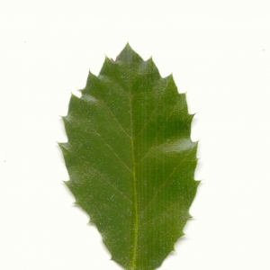 Photographie n°5602 du taxon Quercus ilex L. [1753]